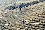 Chine, Yunnan, Lincang et Cangyuan, plantation de sugarcan