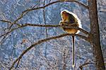 Golden Monkey Sitting on Tree, Qinling Mountains, Shaanxi Province, China