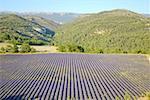 France, Provence, Valensole plateau, champ de lavande, vue aérienne