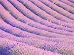 Champ de lavande de Provence, Plateau de Valensole, France