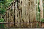 Rideau de figuier, plateau d'Atherton, Queensland, Australie