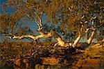 Ghost Gum Tree, Watarrka National Park, Northern Territory, Australia
