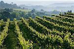 Vineyard, Chianti Region, Tuscany, Italy