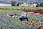 Récolte de poireaux, Holland Marsh, Ontario, Canada