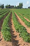 Potato Field, Prince Edward Island, Canada