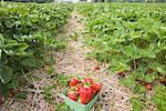 Panier de fraises dans le champ