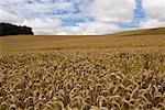 Champ de blé mûr, Desvres, France