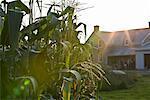 Corn Field and Farmhouse