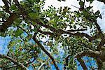 Apple Tree, Salt Spring Island, British Columbia, Canada