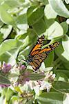 Monarch butterfly (Danaus plexippus) on plant