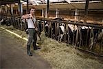 Farmer in barn with cows