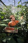 Man cueillette des tomates en serre
