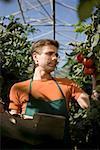 Tomates picking homme à effet de serre