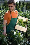 Man cueillette verts poivrons en serre