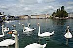 Swans on Lake Geneva, Geneva, Switzerland