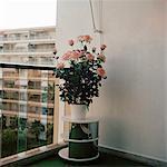 A potted rose bush