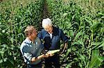 Men Checking Corn in Cornfield