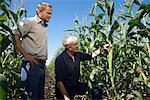 Hommes vérification de maïs dans le champ de maïs