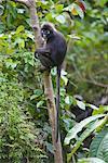 Portrait of Dusky Leaf Monkey, Mount Raya, Langkawi Island, Malaysia