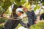 Homme écrêtage des raisins dans les vignes, Naramata, en Colombie-Britannique