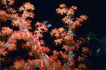 Close-up of Orange Soft Coral underwater, Palau