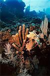 Close-up of Brown Tube Sponge (Agelas Conifera) underwater, Roatan, Bay Islands, Honduras