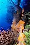 Corals underwater, Grooved-blade sea whip (Pterogorgia guadalupensis), Deep Water Gorgonian (Iciligorgia Schrammi),