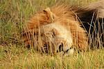 Gros plan d'un lion (Panthera leo) ayant un catnap dans un forêt, Delta de l'Okavango, Botswana