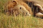 Gros plan d'un lion (Panthera leo) se trouvant dans une forêt, Delta de l'Okavango au Botswana