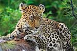 Léopard (Panthera pardus) reposant sur un arbre dans une forêt, Motswari Game Reserve, Timbavati Private Game Reserve, Kruger National