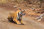 Tigress (Panthera tigris) crouching on the dirt road, Ranthambore National Park, Rajasthan, India