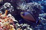 Vlamings Unicornfish swimming underwater, Papua New Guinea