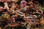 Three Nudibranches swimming underwater, Papua New Guinea