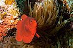 Spine Cheek anemone fish (Premnas biaculeatus) swimming underwater, Papua New Guinea