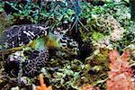 Green turtle (Chelonia mydas) swimming underwater, Cayman Islands