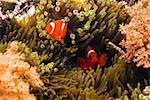 Two Spine Cheek anemone fish (Premnas biaculeatus) swimming underwater, North Sulawesi, Sulawesi, Indonesia