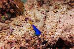 Blue Ribbon eel (Rhinomuraena quaesita) underwater, North Sulawesi, Sulawesi, Indonesia