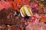 Orange-banded Coralfish swimming underwater, Papua New Guinea