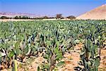 Cactus (Opuntia cochenillifera) crop in a field, Nazca, Peru