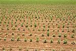 Cotton crop in a field, Nazca, Peru