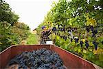 Agriculteur dans le vignoble