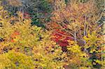 Forêt en automne, Parc National de Daisetsuzan, Hokkaido, Japon