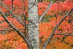 Arbre en automne, Parc National de Daisetsuzan, Hokkaido, Japon