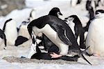 Chinstrap Penguins Mating, Half Moon Island, Antarctica