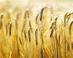 Ears of barley in the field