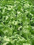 Iceberg lettuce in the field