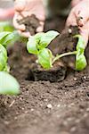 Planting basil in soil