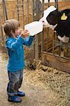 Petit garçon alimentation des veaux avec du lait d'une bouteille