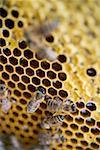 Nid d'abeille avec abeilles (gros plan)