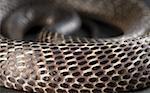 Gros plan d'un cobra recourbé vers le haut